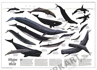 Hvaler i verden 79 x 58cm