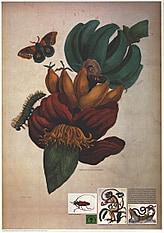 Eulenfalter auf Bananenpflanze 59 x 84cm