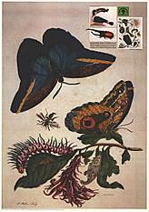 Caligofalter (Caligo idomenius) 59 x 84cm